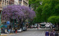 Buenos Aires jacaranda en fleur