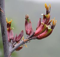 Harakeke flowers showing pollen on anthers. Date Tattoos, Body Art Tattoos, New Zealand Flax, Flax Flowers, Flower Line Drawings, Photo Online, First Tattoo, Beautiful Images, Cool Photos