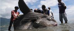 Sunfish 1.5 Tons Found in Indonesia