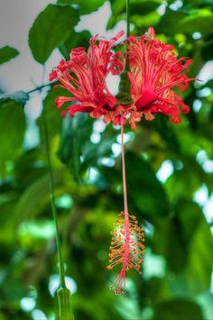 'Hibiscus schizopetalus- Korallenhibiskus' von uta-naumann bei artflakes.com als Poster oder Kunstdruck $17.33