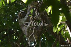 Drei Finger Faultier - Das Wildleben von Costa Rica