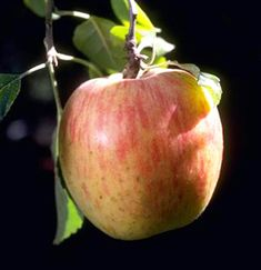 The Red Gravenstein Apple is considered by many to be one of the best all-around apples with a sweet, tart flavor and is especially good for baking and cooking. picked in July and August is known as a good cooking apple, for apple sauce and apple cider. The flesh is crisp, juicy, finely grained, and light yellow. It grows best in moderate, damp, loamy soil with minimal sol drying during the Summer months. Needs pollination with any self-fertile variety as Fuji, Gala Requires 700 chill hours.