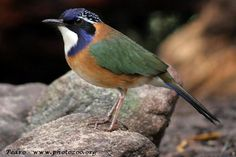 Blauwkop grondscharrelaar - Pitta-like ground roller (Atelornis pittoides)