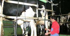 كتاب تحسين انتاج الحليب من الأبقار الحلابة