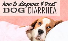 Dog Diarrhea Remedy, How To Cure Diarrhea, Diarrhea In Dogs, Dog Health Tips, Pet Health, Dog Throwing Up, Sick Dog, Dog Care, Dog Owners