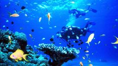 One of the most famous scuba diving sites today, the red sea is very unique due to its underwater ecosystem and great number of reefs. Its good visibility all year round, clear water teeming with marine life and its close proximity to Europe makes it a bu