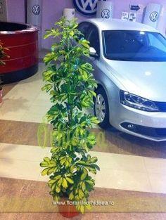Schefflera Compacta - 2m inaltime Compact, Plant