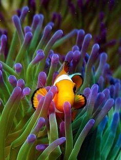 safe among the anemone