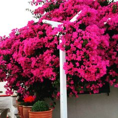 Bougainvillea in Artemonas Sifnos