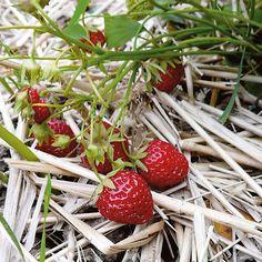 ostara erdbeere kaufen