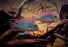 Cichlid Aquarium, Cichlid Fish, Aquarium Fish, Tropical Freshwater Fish, Tropical Fish, Fish Tanks, Habitats, Fresh Water, Underwater