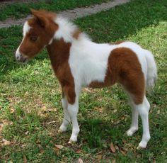 Photos and video of a red dun and white pinto filly miniature horse for sale with excellant, evenly markings and nice conformation with show type traits. Cute Baby Horses, Cute Baby Animals, Funny Animals, Mini Horses, Falabella Horse, Miniature Horses For Sale, Brown And White Horse, Cute Animal Tattoos, Mini Pony