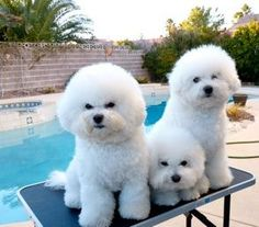 Bichons by pool - BelAmour Bichons Frise Puppies Bichon Frise, Bichon Dog, Animals And Pets, Baby Animals, Cute Animals, Little Dogs, Poodle, Cute Puppies, Dogs And Puppies