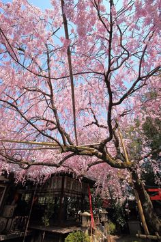 #sakura #cherryblossom #spring #Japan #travel #guide #TheRealJapan #Japanese #howtotravel  #vacation #trip #explore #adventure #traveltips #traveldeeper  www.therealjapan.com Cherry Blossom Japan, Tourism, Bloom, Japanese, Explore, Adventure, Vacation, Japan Travel, Wallpaper