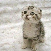 #dogalize Enfermedades de los gatos: Periontitis infecciosa felina (FIP) #dogs #cats #pets