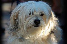 havana silkie puppies   Havana Silk Dogs   Physical Characteristics