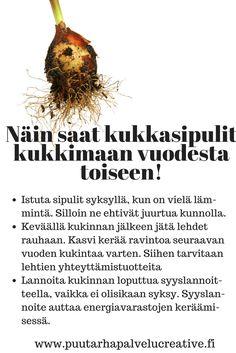 .Näin saat kukkasipulit kukkimaan vuodesta toiseen.   www.puutarhapalvelucreative.fi