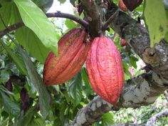 The Story of Chocolate: Pods. Courtesy of World Cocoa Foundation.