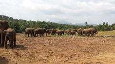 Elephant Orphanage in Pinnawala, Sri Lanka.