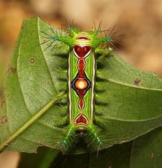 "A bird's-eye view of a Stinging Nettle Slug Caterpillar (Cup Moth, Limacodidae) ""Optimus Prime""   Pu'er, Yunnan"