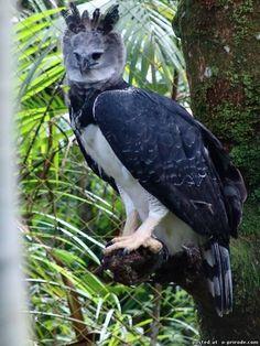 AGUILA ARPIA. La arpía mayor, águila harpía o simplemente harpía es una especie de ave accipitriforme de la familia Accipitridae que vive en la zona neotropical.
