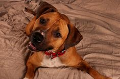 Our Adoptable Dog of the Week is Buttercup, a 3 to 3.5 years old Boxer mix from Nashville, Tennessee.