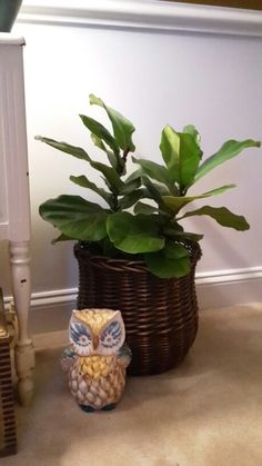 My fiddle leaf fig arrived today from JMBamboo on Amazon Marketplace. Have never had one, will need to read about care, looks good for coming in the mail, green, glossy leaves, full, new leaf buds. Fiddle Leaf Fig, New Leaf, Bud, Leaves, Amazon, Green, Plants, Amazons, Riding Habit