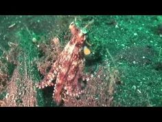 Video: Mimic Octopus