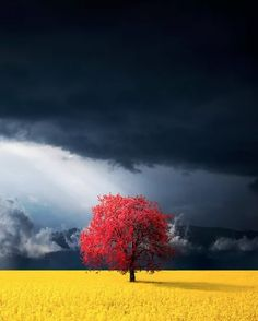 This red tree in the canola meadow of Kosovo