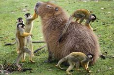 Why do  #capybaras  get along so well with literally every other species?   http://www.aol.com/article/2016/03/31/why-do-capybaras-get-along-so-well-with-literally-every-other-sp/21336403/