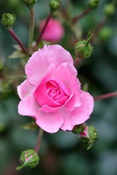 Pink Tea Rose from Sara Crystal. Amazing Flowers, My Flower, Beautiful Roses, Beautiful Gardens, Flower Power, Beautiful Flowers, Beautiful Pictures, Tea Roses, Pink Roses