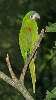 El guacamayo noble o guacamayo de Hahn (Diopsittaca nobilis) es una especie de ave de la familia de los loros (Psittacidae) de la que existen tres subespecies: D. n. nobilis D. n. cumanensis D. n. longipennis Es nativo de los llanos, sabanas y pantanos de Perú, Bolivia, Venezuela, las Guyanas y Brasil.