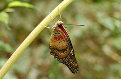 Butterfly, Borneo