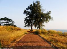 St. Angelo's fort tree in Kannur Kerala http://mithunonthe.net/2012/07/24/kannur-kerala-attractions-what-to-see/ #tree #kannur #india #kerala