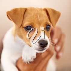 Are the eyes of the Jack Russell puppy clean? Are the eyes of the Jack Russell puppy clean? Jack Russell Terriers, Jack Russell Mix, Jack Russell Puppies, Parson Russell Terrier, Rat Terriers, Terrier Puppies, Terrier Dogs, Cute Puppies, Cute Dogs