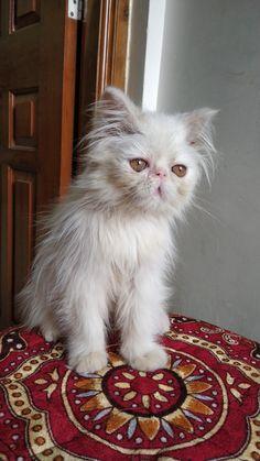 Blue Mirrors, Cats, Animals, Gatos, Animales, Animaux, Animal, Cat, Animais