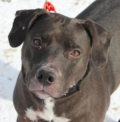 Meet Sugar, a Petfinder adoptable Labrador Retriever Dog | Pittsford, VT | 4 year old.  Spayed Female.  Labrador Retriever mix.  45 lbs.If you�re looking for a new best...