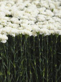 White carnations - The set at Mary Katrantzou Fall 2011