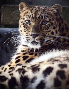 amur leopard, via Flickr.