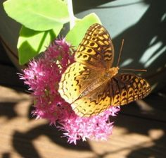 Great Spangled Fritillary Butterfly on Stonecrop Sedum - The Nature In Us Newsletter - 10/1/15