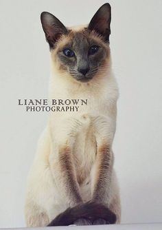 Siamese cats                                                       …