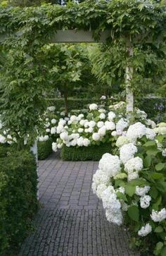 This is such a handsome brick walkway lined with beautiful white Hydrangeas.