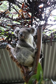 A critical colony of around 200 koalas near Ballina, New South Wales is at risk of extinction if Stage 10 of the Pacific Highway upgrade goes ahead as planned. Send a message to Greg Hunt asking him to protect these koalas not sign their death warrant.