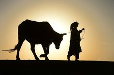In this photograph taken on January 27 2016 an Afghan man walks with his cow during sunset in Herat. AFP PHOTO / Aref Karimi by parismatch_magazine