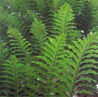 Gu sui bu - Le gu sui bu (drynaria fortunei) fait partie des plantes médicinales de la pharmacopée traditionnelle chinoise, cette fougère est une plante réparatrice des os et des tendons, elle possède une action bienfaitrice sur le système osseux, elle favorise l'absorption du calcium, améliore et acti... http://www.complements-alimentaires.co/wp-content/uploads/2016/02/Gu-Sui-Bu-_drynaria-fortunei.jpg - Par Nathalie sur Compléments alimentaires  #Lesplantesdela