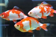 Goldfish - Wakins