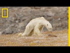 Heart-Wrenching Video: Starving Polar Bear on Iceless Land   National Geographic - YouTube