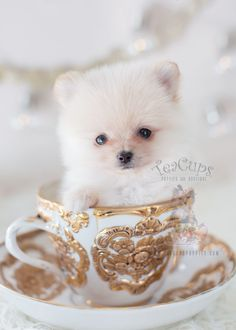 For Sale #309 Teacup Puppies Pomeranian Puppy