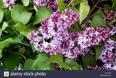 Download this stock image: Beautiful lilac flowers among the green leaves. Presented in close-up. - M1X4FP from Alamy's library of millions of high resolution stock photos, illustrations and vectors.