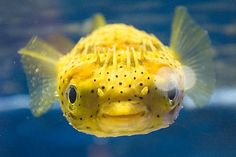 face, eyes, smile, fugu, blowfish, globefish